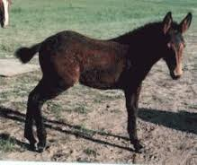 Gaited mule colts for sale All colors and ages 500 and up Call Dale at 276-494-3207R AND D ADVEN