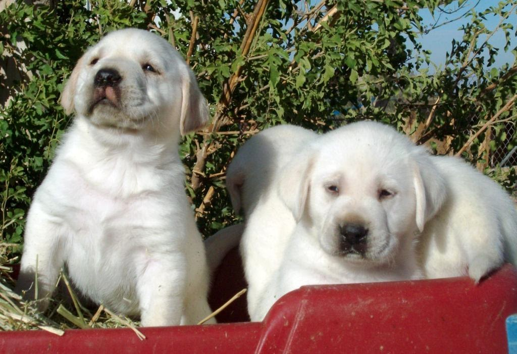 White English Lab puppies Big and blocky Males and females available Purebred with papers Curren