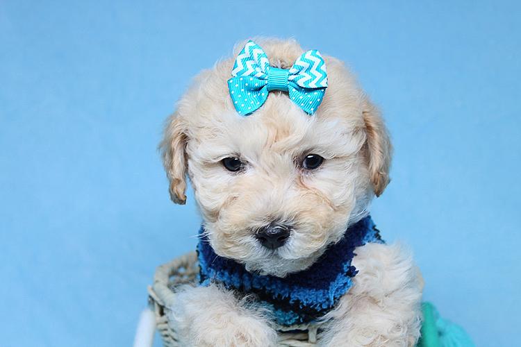 Suzuki-Toy Poodle Puppy | Pets | Agoura Hills CA | recycler com
