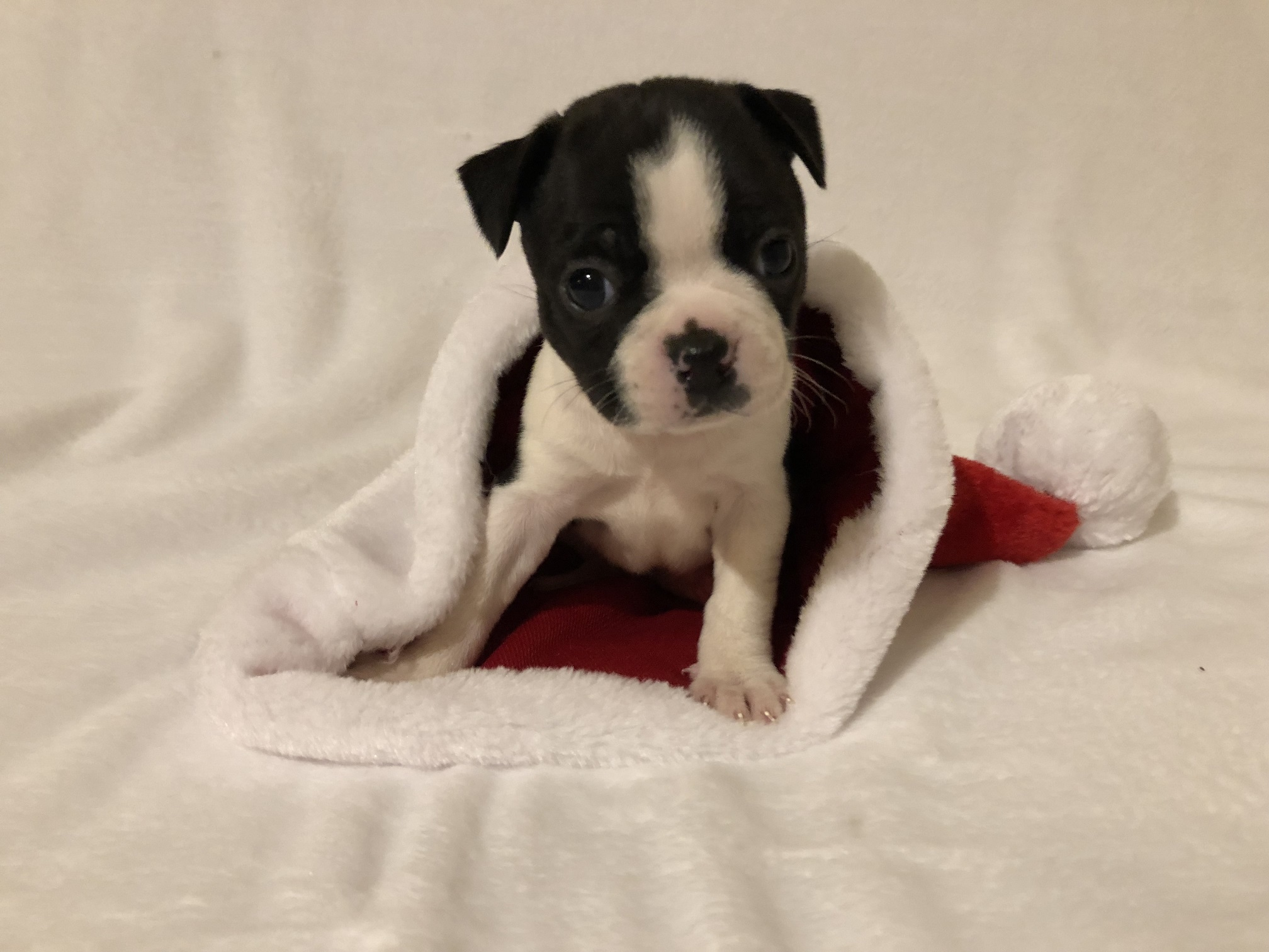 Boston Terrier Puppies Males and females available Ready for new homes Puppies are registered 9