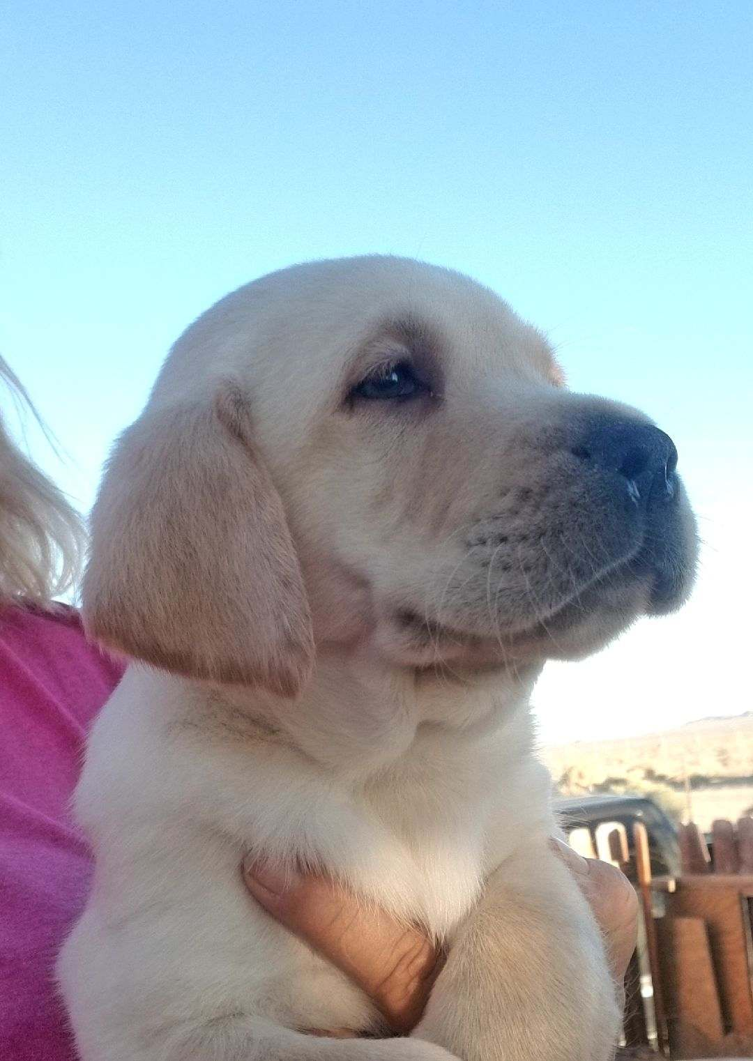 Beautiful yellow and cream labrador puppies Purebred with papers  Current on shots and dewormed