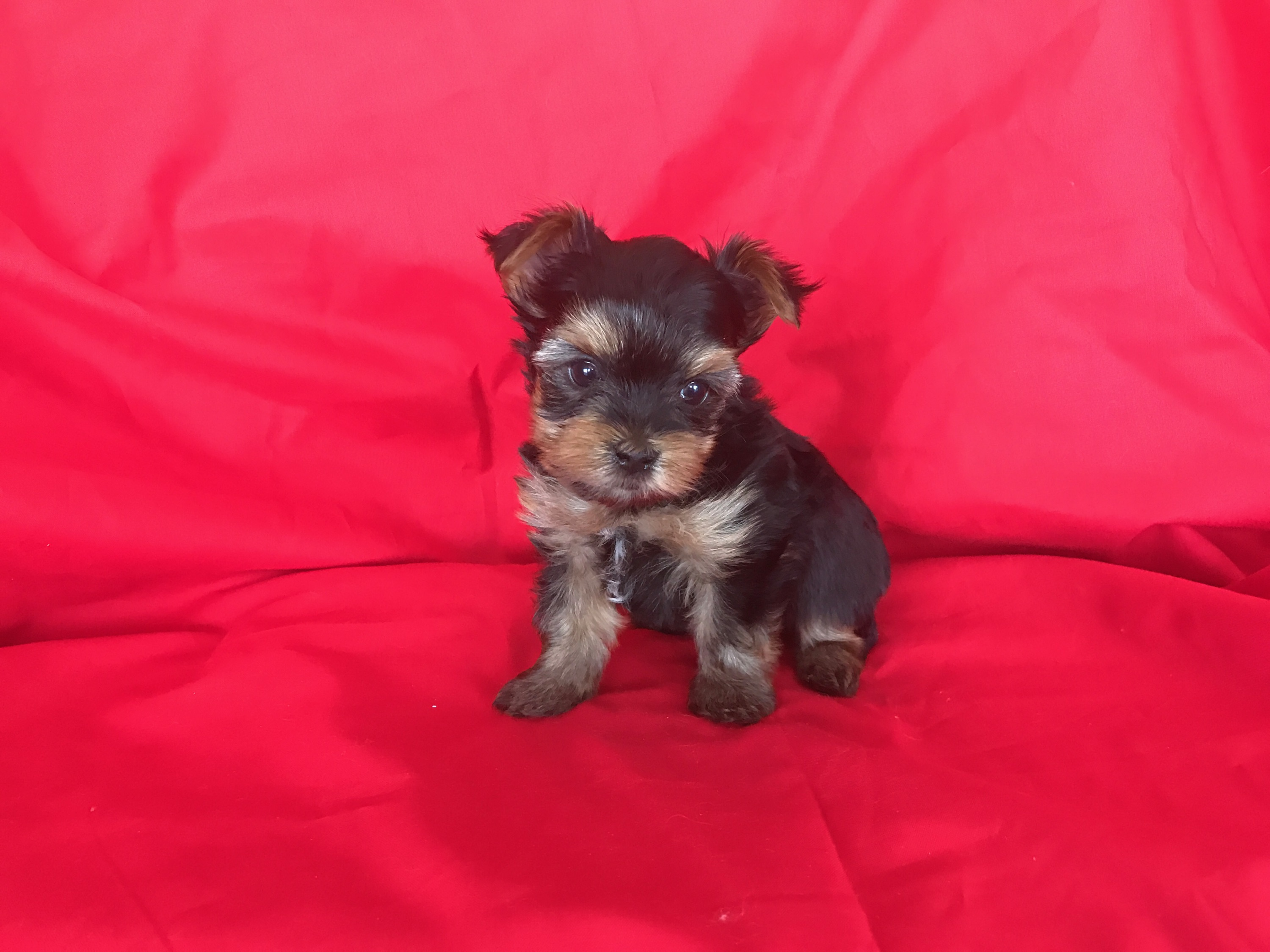Jaw dropping cuteness Exclusive show quality White and tan cavalier maleexceptional cuteness t