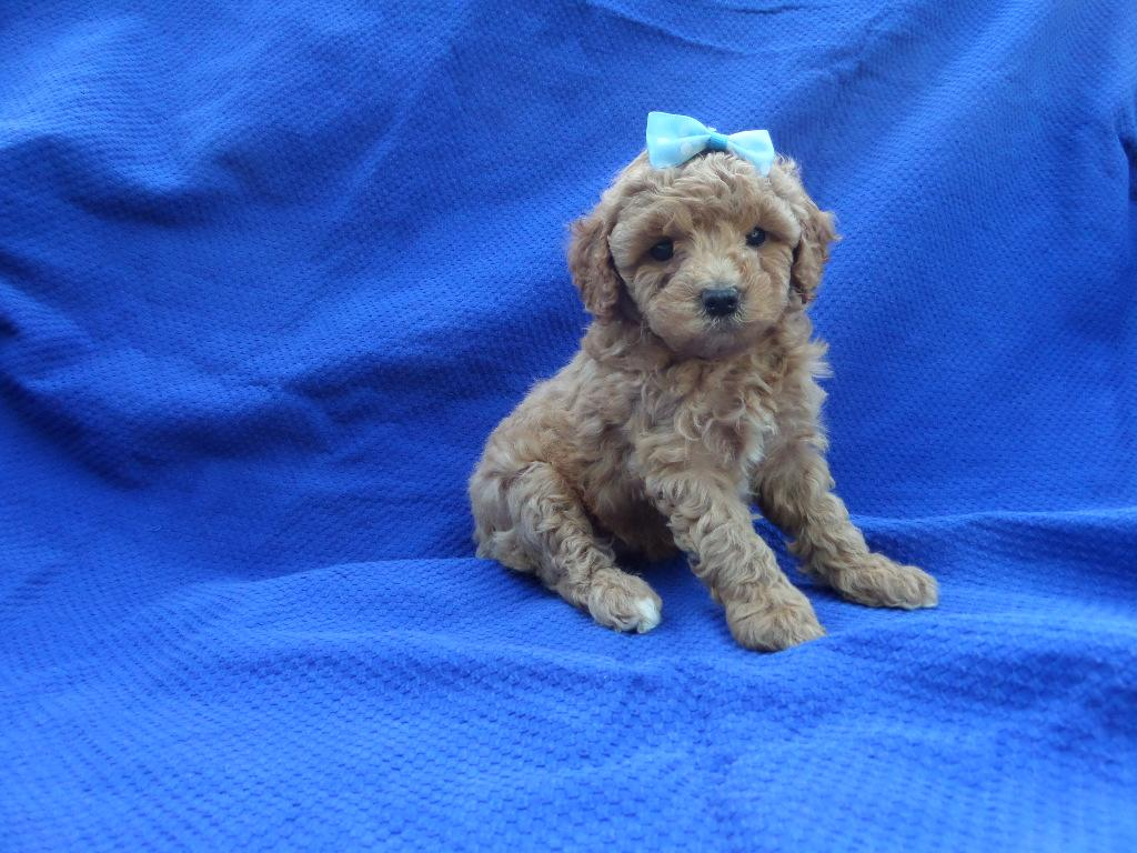 Red Poodle Puppies Males and females available Current with shots and dewormed Ready for new home