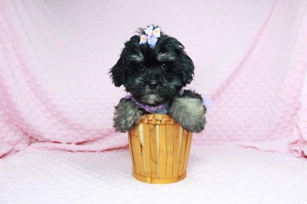 Dahlia- Toy MAltipoo Puppy