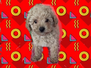 Red Dark Tan maltipoo puppy