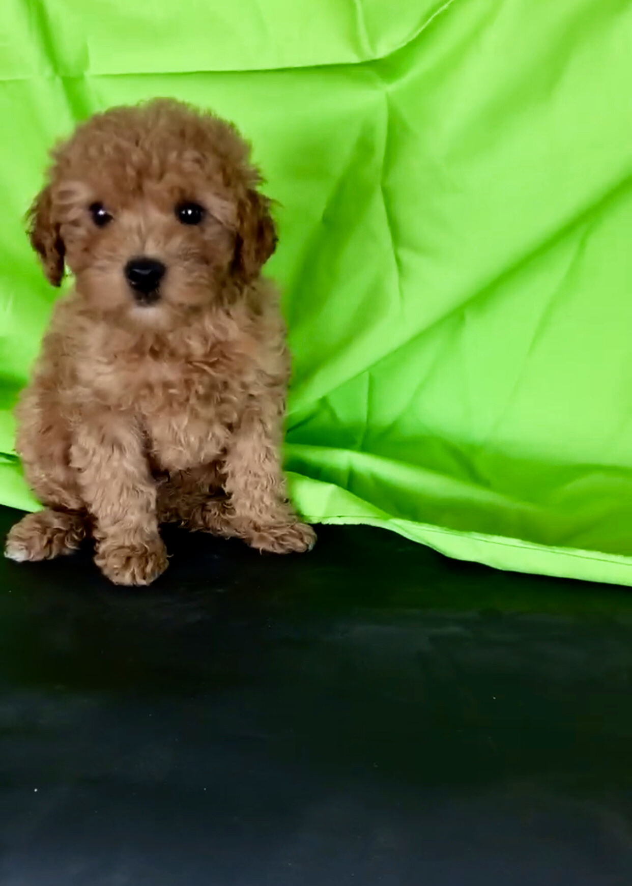 RARE MALTIPOO Red COLOR TEDDYBEAR FACE FULL GROWN 10LBSUP TO DATE ON SHOTSHOME RAISED PUPPY