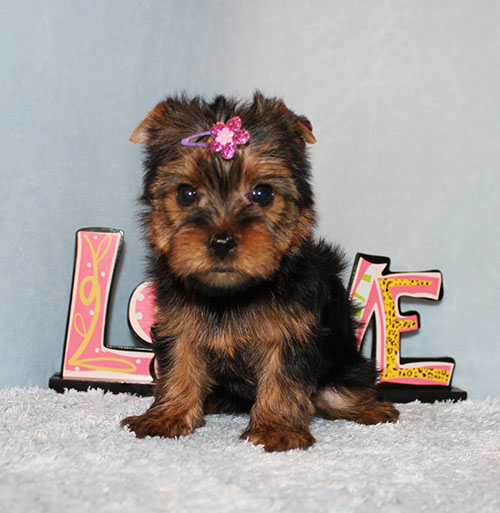 Toy Yorkie Puppy Girl (Jacy)
