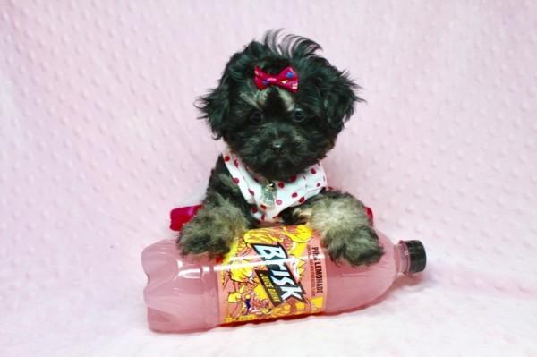 Amazing Shipoo Puppy