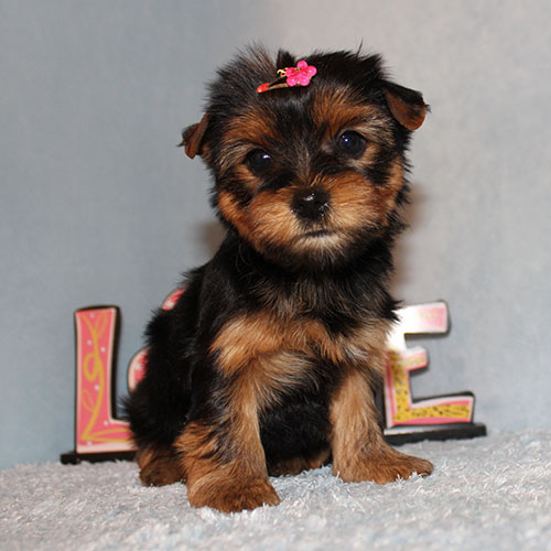 AKC CH Toy Yorkie Puppy Girl