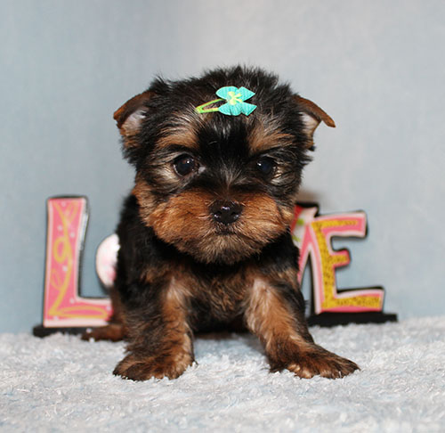 Toy Yorkie Puppy Boy (Enzo)