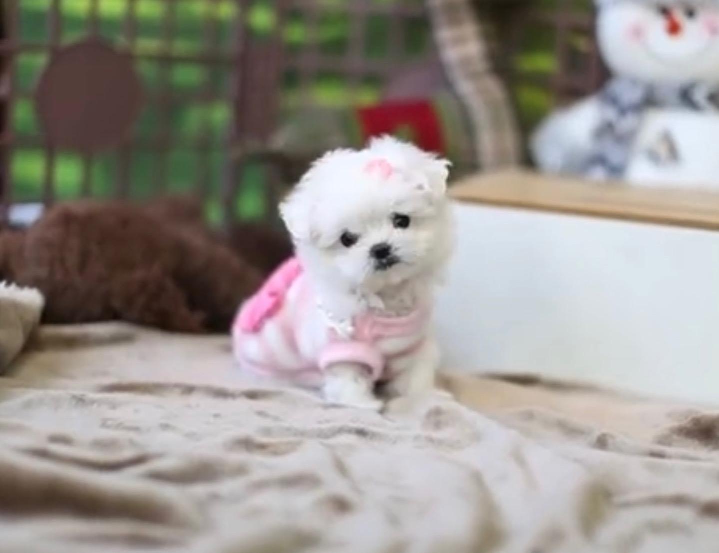 Tiny Maltese female