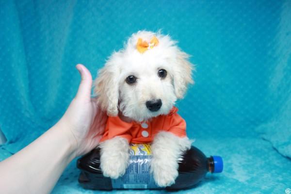 Lego-Toy Maltipoo Puppy