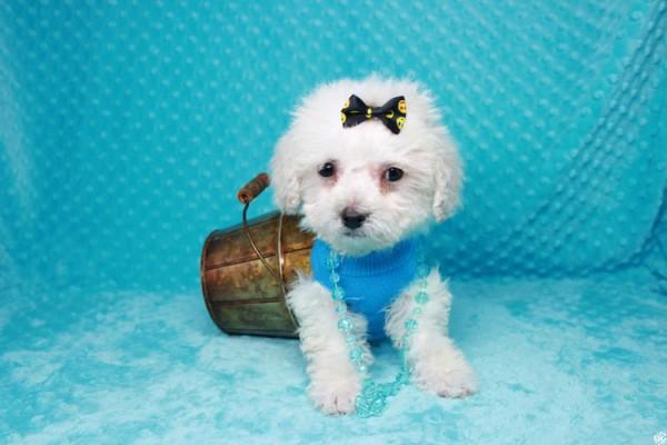 Amazing Maltipoo Puppies