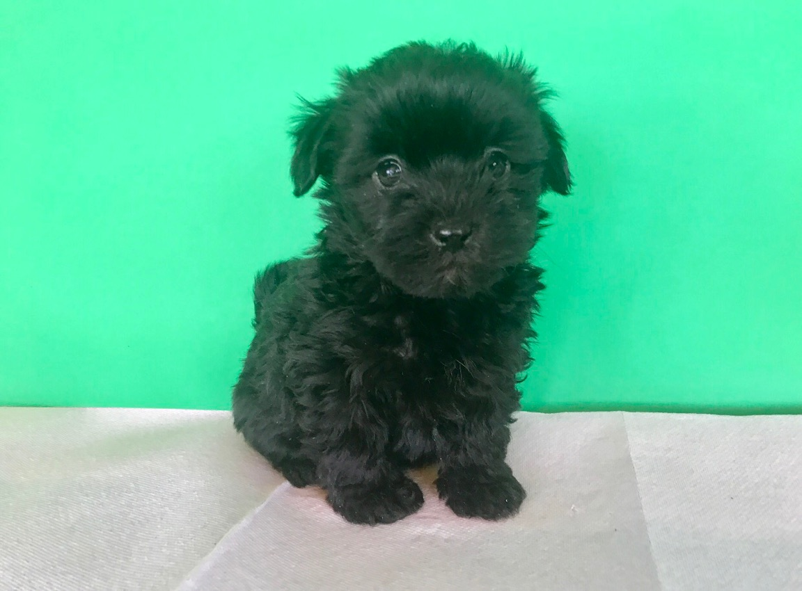 TINY BLACK MALTIPOO Female