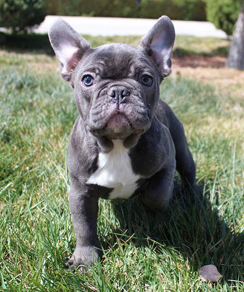 AKC Blue French Bulldog Puppy