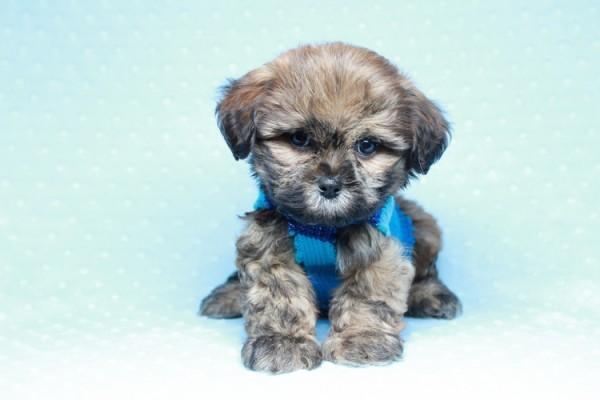 Super Malshi Puppy