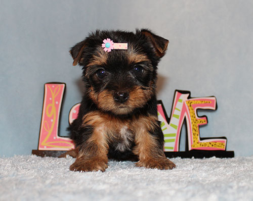 Toy Yorkie Puppy Girl (Leah)
