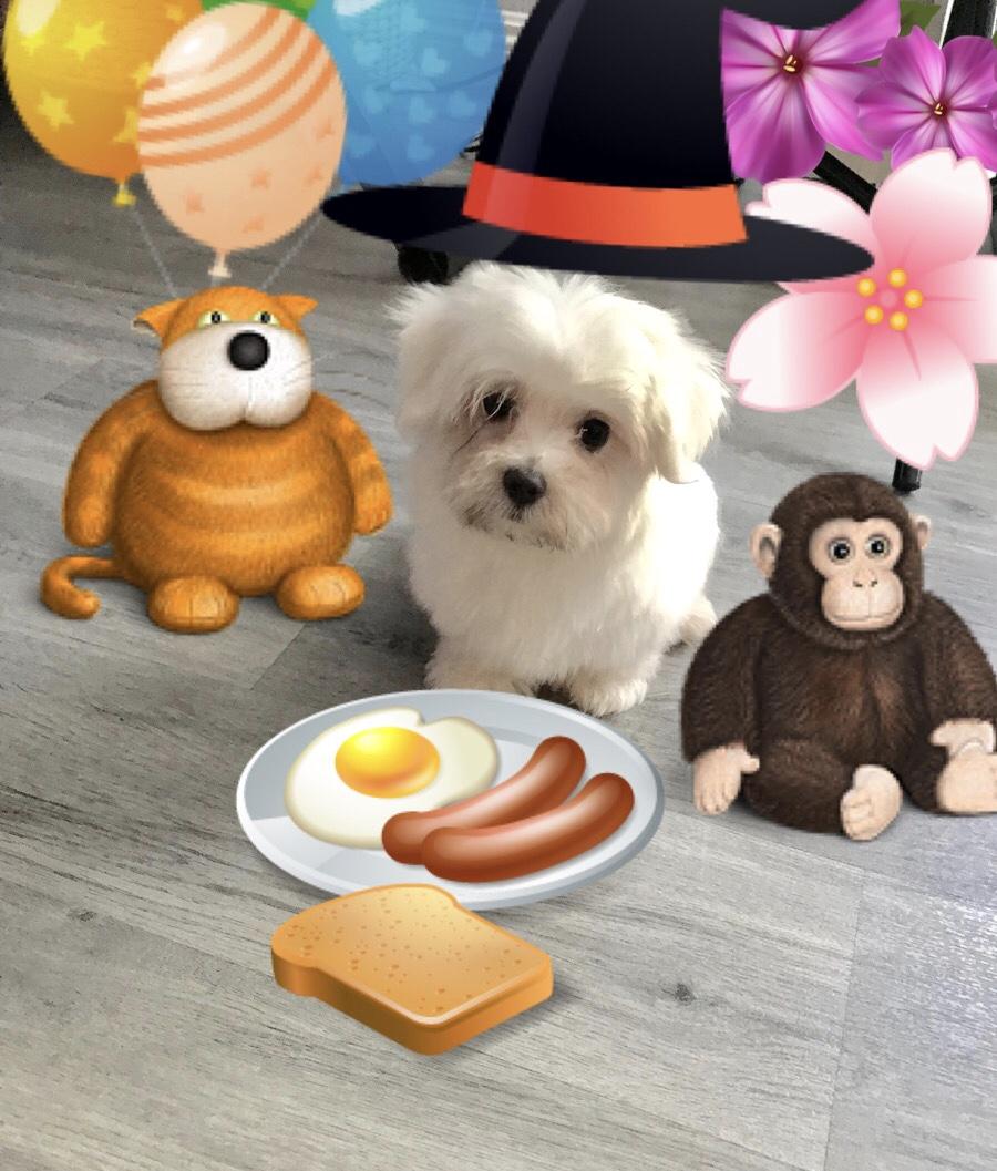 Doll face Maltese puppy