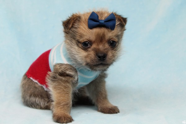 Big Boy-Teacup Porkie Puppy | Pets | Agoura Hills CA