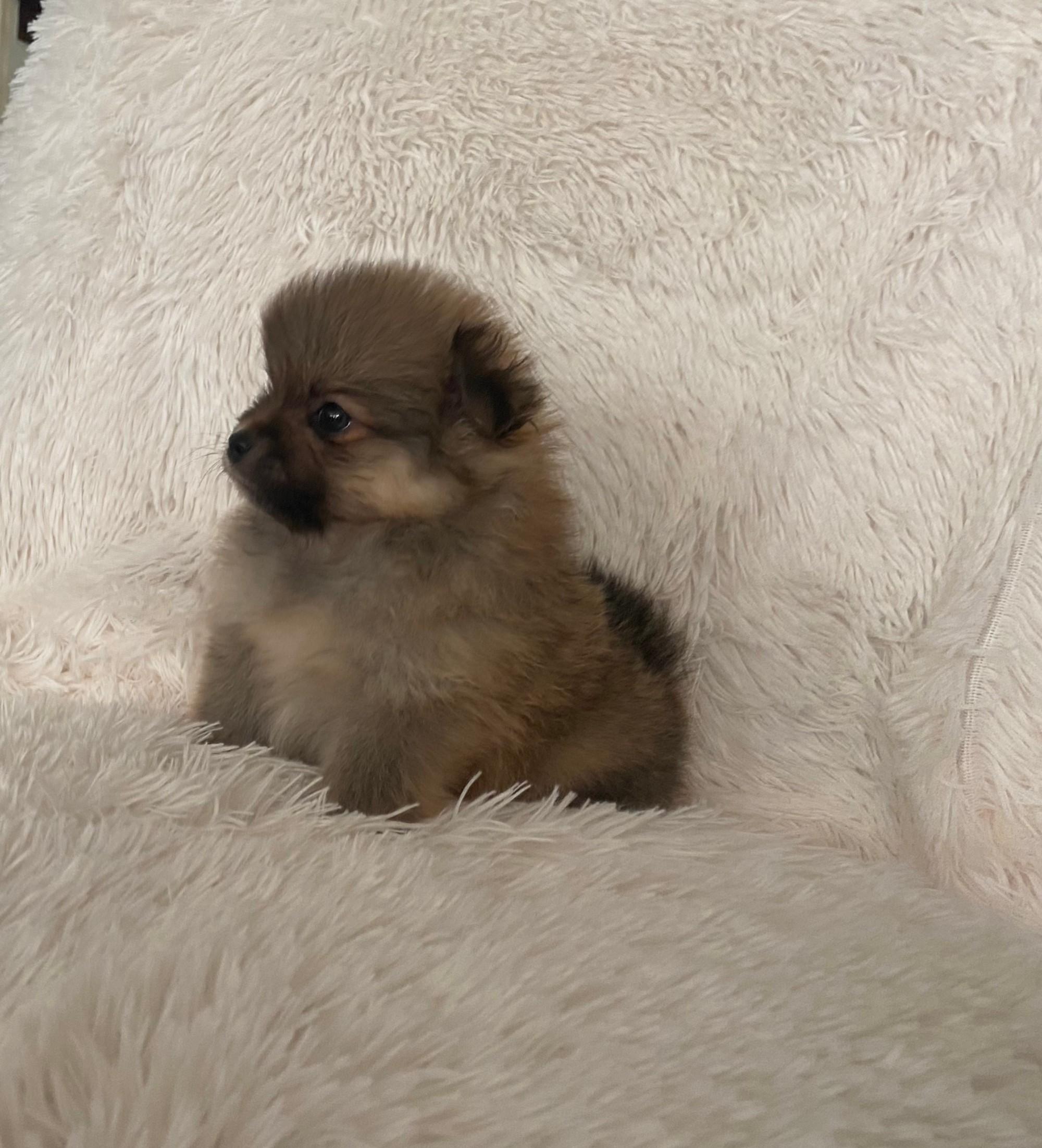 Pomeranian Puppies