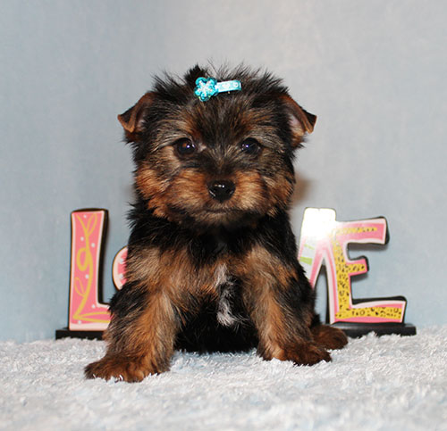 AKC CH Sired Yorkie Puppy Boy