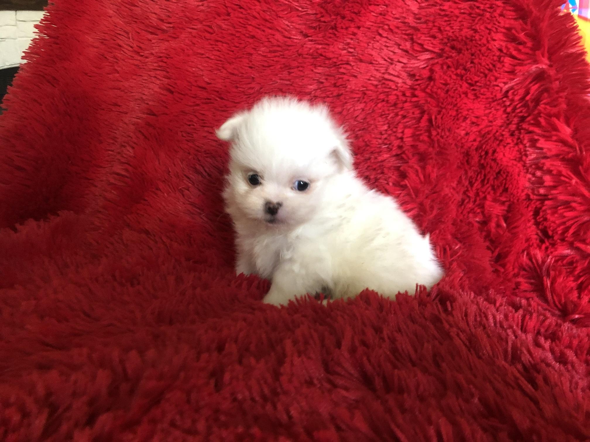 Pomeranian/Shih Tzu puppies