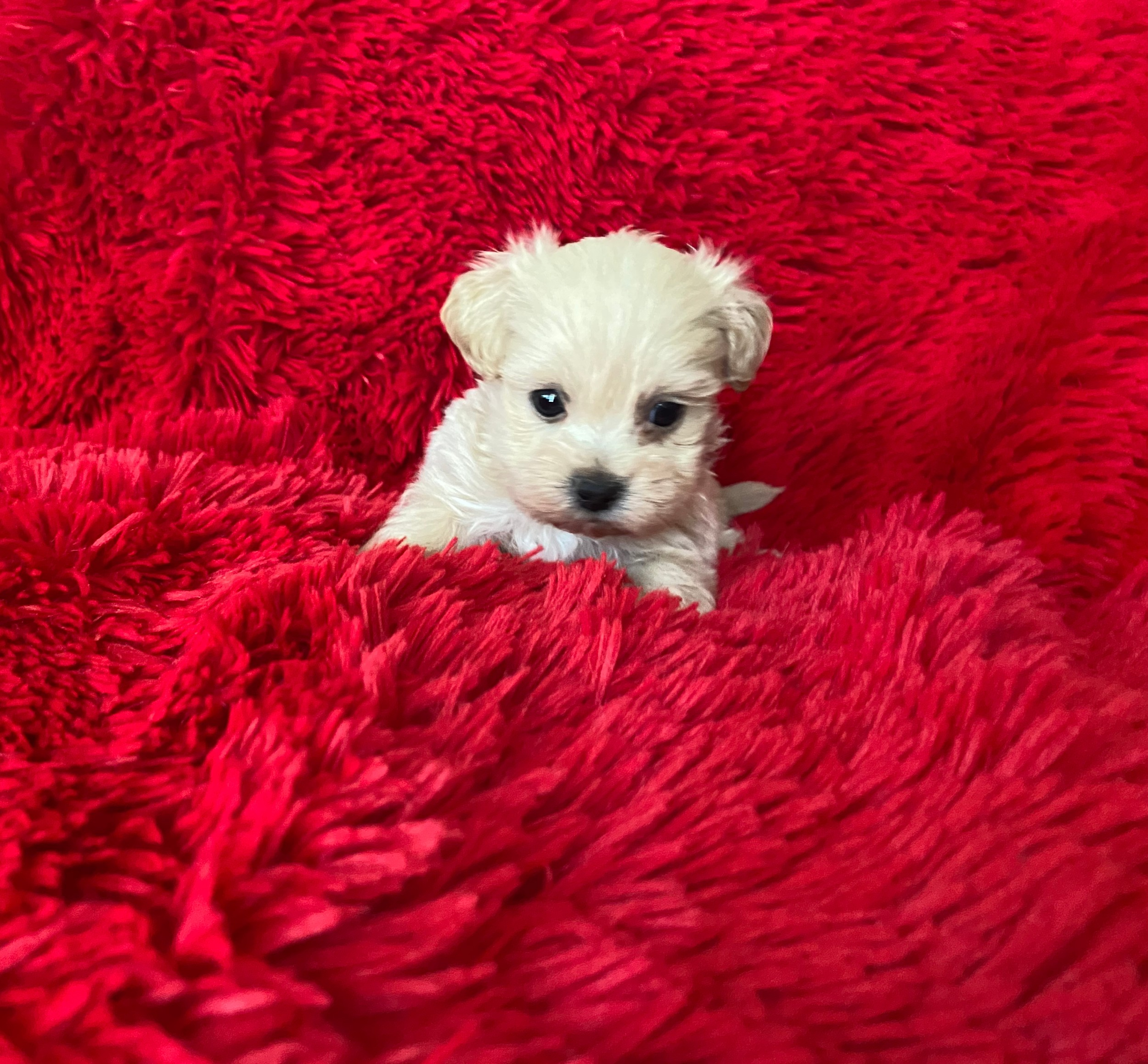 Maltese shih tzu puppies Males and females available Current with shots and de