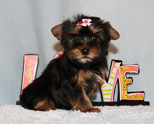 Toy Yorkie Puppy Girl (Emma)