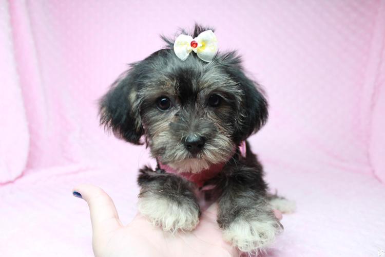 Jingle Bell-Teacup Morkie Pup