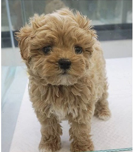 RARE MALTIPOO TAN  APRICOT COLOR TEDDYBEAR FACE FULL GROWN 10LBSUP TO DATE ON SHOTSHOME RA