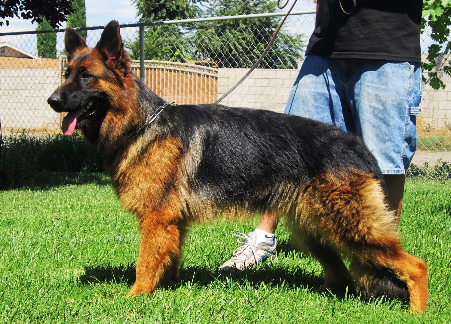 German Shepherd AKC Male