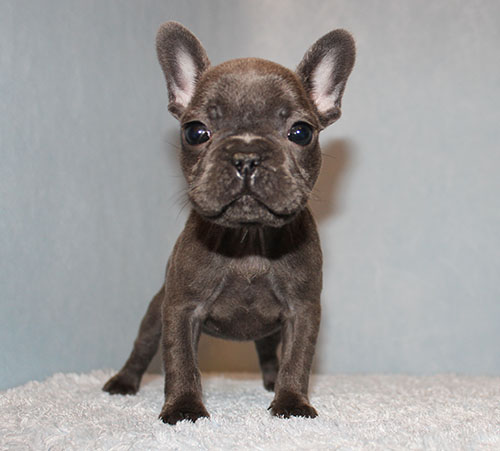 AKC Blue French Bulldog Puppy