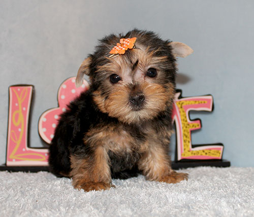 Toy Yorkie Puppy Girl (Ruby)