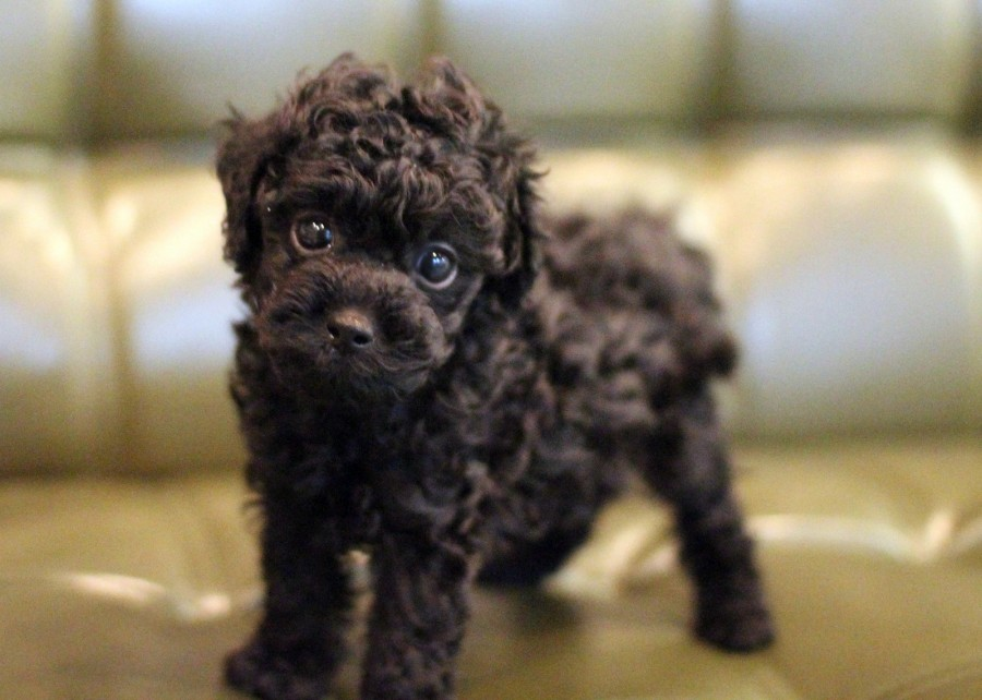 AFFECTIONATE FAMILY PETMaltipoo puppies  Black  Toy size UP TO DATE ON SHOTS 8LBS FULL GROWN