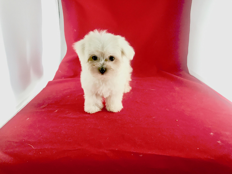Tiny Maltese male