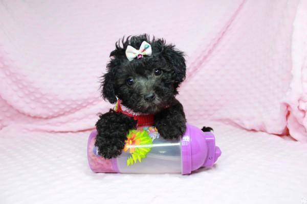 Sweetheart-Teacup Maltipoo pup