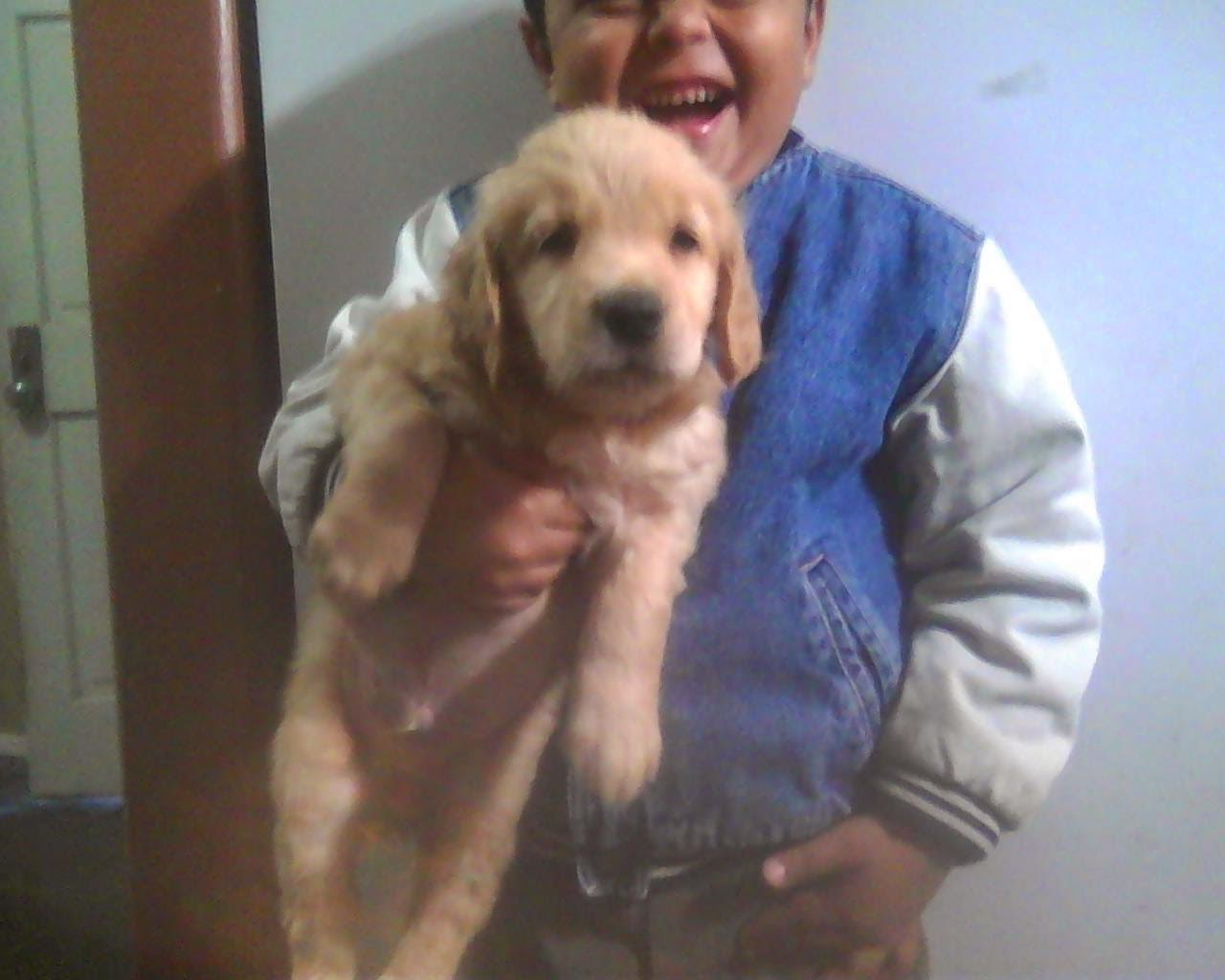 Classic American Golden Retriever Puppies Gold and Red puppies Purebred with papers Males and fe