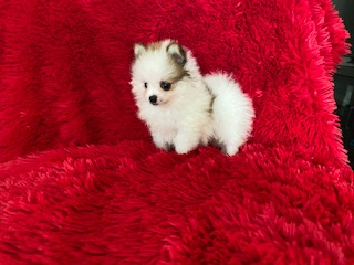 Tiny Pomeranian Puppies Females and males available Current with shots and dewormed Ready for new