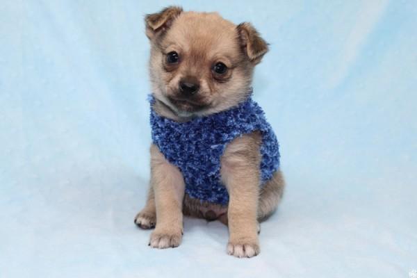 Max-Teacup Porkie Puppy