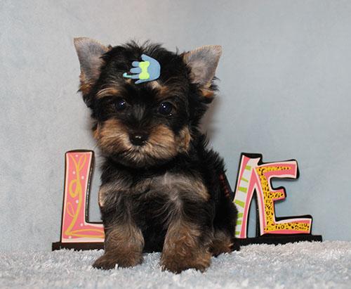 Toy Yorkie Puppy Boy (Zara)
