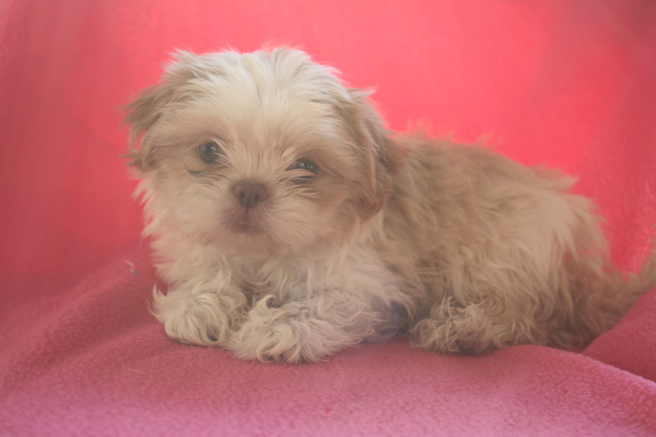 shihtzu one male 650 and three females available 750