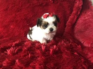 Shih Tzu Maltese Puppies