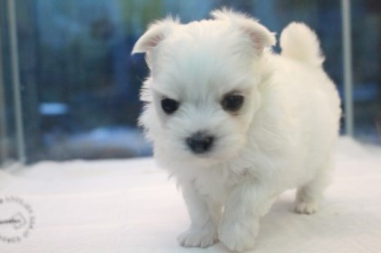 TINY MALTESE READY FOR HOME  9 weeks  OLD HOME RAISED WITH 20 YEARS EXPERIENCEUP TO DATE ON SHO