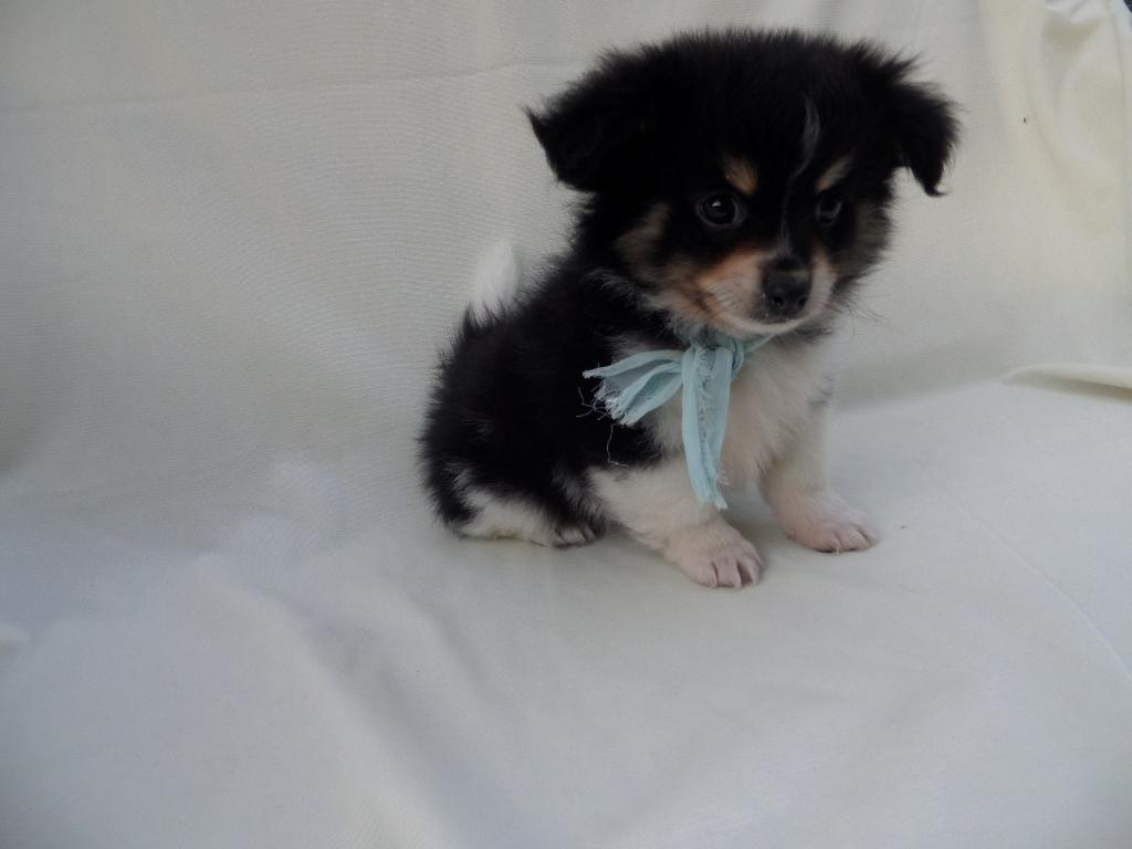 Pomeranian yorkie puppies Males available current with shots and dewormed Ready for new homes 5