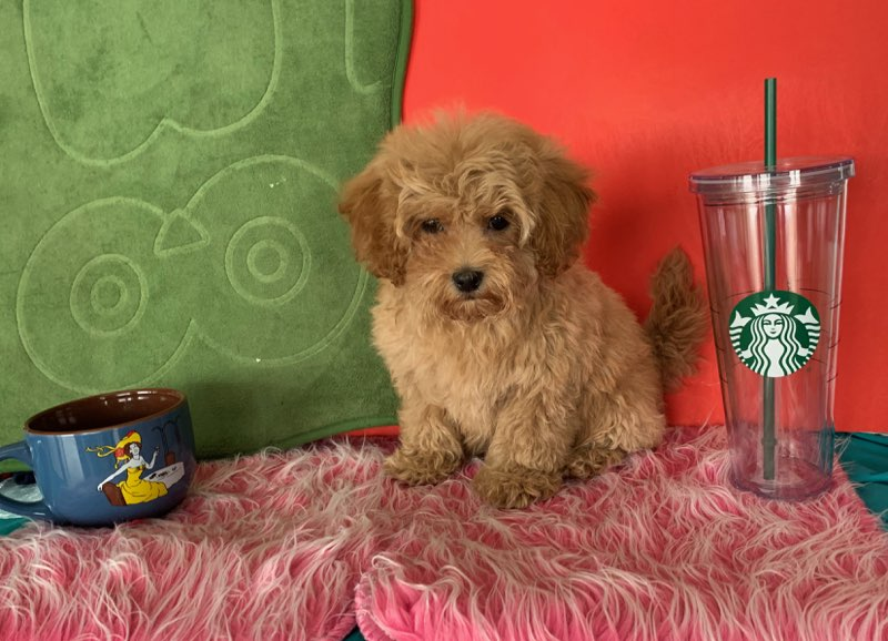 Maltipoo  Puppy Tan