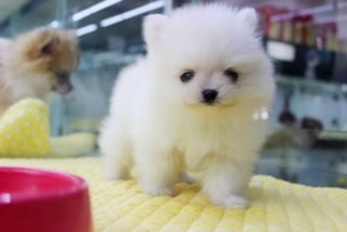 White Pomeranian puppy tiny