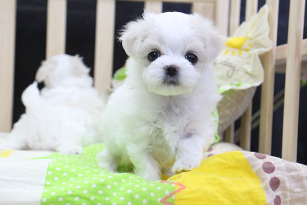 Super cute affectionate maltese female weighs 15lbs will be 4lbs full grown