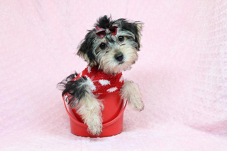 Etsy-Toy Morkie Puppy