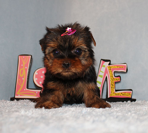 AKC CH Sired Yorkie Puppy Girl