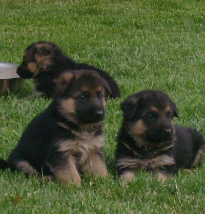 German Shepherd Longcoat Puppy